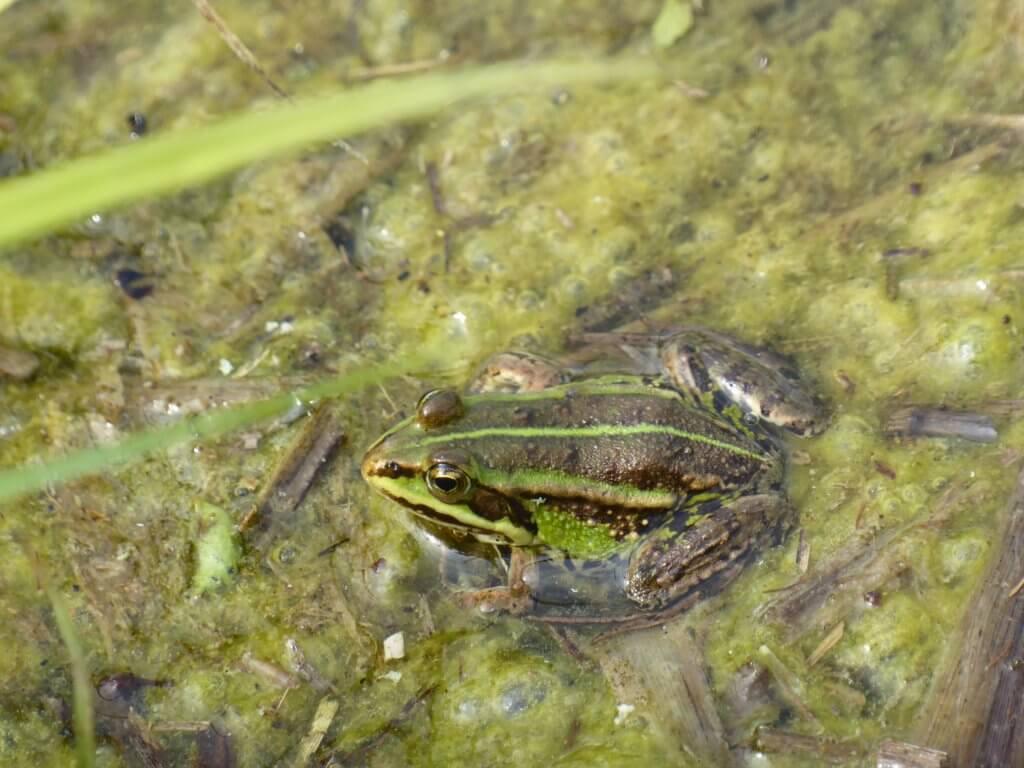 Kikkerbilletjes in het groen