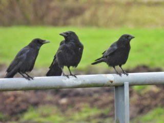 Waarover spraken zij, daar samen op het hek? Bovenop het hek... . . #polderpicture #polderpictures #polderpictureoftheday #polderpicturesoftheday #oostvlietpolder #zwartekraai #kraai #corvuscorone #vogels #vogelfoto #vogelfotografie #camper_no_mad