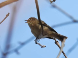 De Tjiftjaf. Een onopvallend vogeltje met een opvallende roep: 'tjif tjaf'... . . #phylloscopidae #phylloscopuscollybita #tjiftjaf #commonchiffchaff #chiffchaff #zilpzalp #weidenlaubsänger  #pouillotvéloce #mosquiterocomún #vroegevogels #vogels #vogelsvannederland #vogelsvaninstagram #instavogels #ig_vogels #bestbirdshots #vogelfotografie #natuurfotografie #camper_no_mad