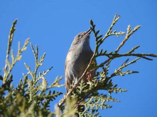Tweemaal Heggemus: zingend in de boom en scharrelend op de grond. . . #prunellamodularis #heggemus #heggemusje #heggenmus #dunnock #heckenbraunelle #accenteurmouchet #acentorcomun #vroegevogels #vogels #vogelfoto #vogelfotografienederland #nederlandsevogels #vogelsnederland #vogelskijken #vogelspotten #vogelfotograaf #vogelfotografie #natuurfotografie #camper_no_mad