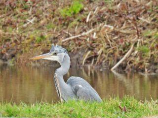Kuifje in Waterland . . #ardeacynerea #blauwereiger #greyheron #graureiher #heroncendre #garzareal #airon vogel #vogelfoto #vogelfotografie #vogelsvannederland #vogelsvaninstagram #natuurfotografie #camper_no_mad