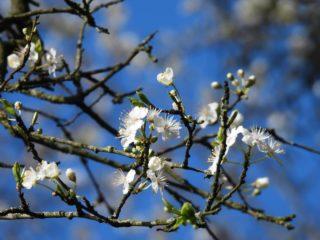 Lente: Bloesem . . #lente #spring #frühling #printemps #primavera #bloesem #blossom #blühen #fleurir #florecer #natuurfotografie #naturephotography #naturfotografie #photographiedenature #fotografíadenaturaleza #camper_no_mad